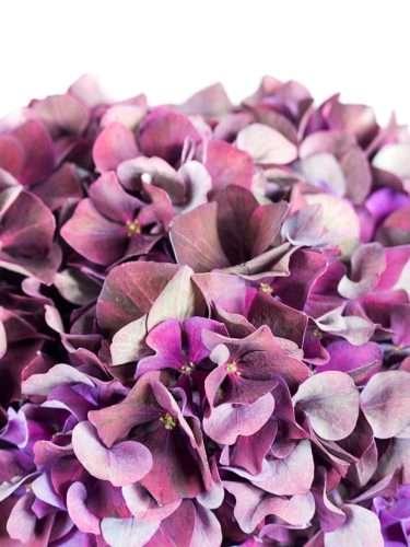 Hortensie Magical Rubyred Classic dunkel-aubergine