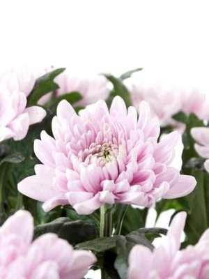 Chrysanthemen Rossano rosa