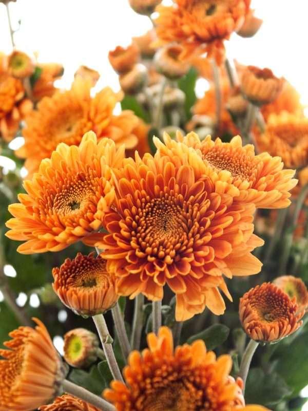 Crysantheme Littleton orange