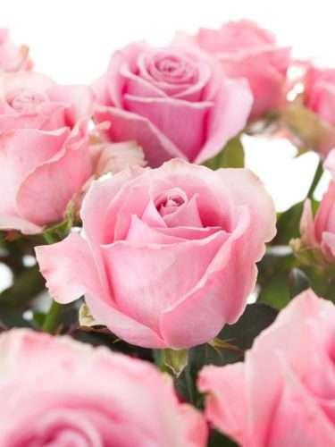Rosen Honey Avalanche pink