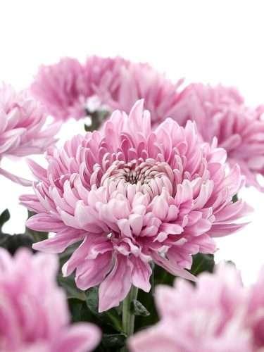 Chrysantheme Holiday pink