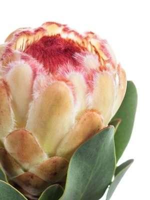 Protea Grandicolor in Creme-Pink