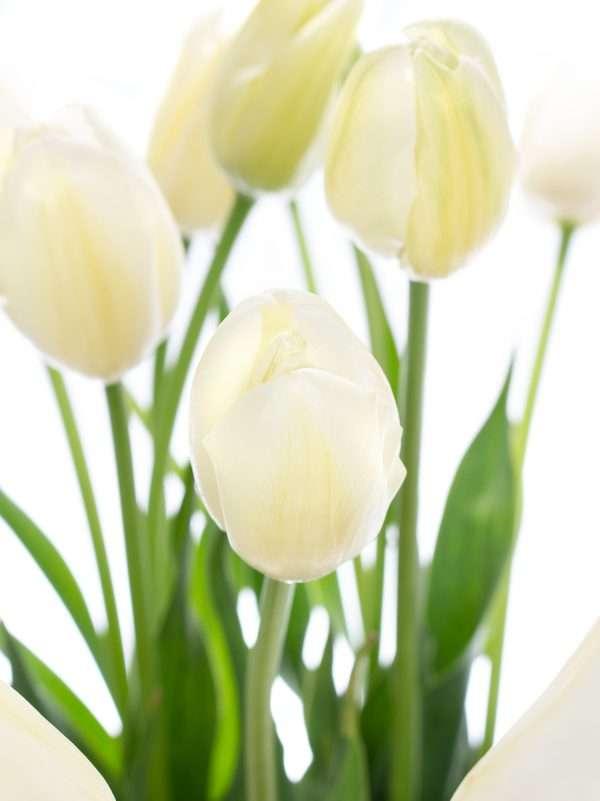 Französische Tulpen Maureen weiss-creme