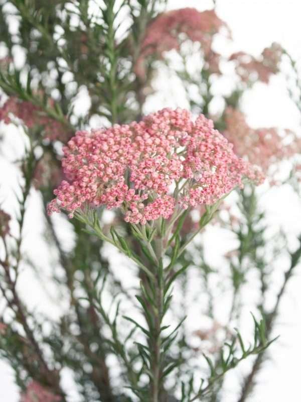 Die Reisblume Ozothamnus mit pinken Blüten