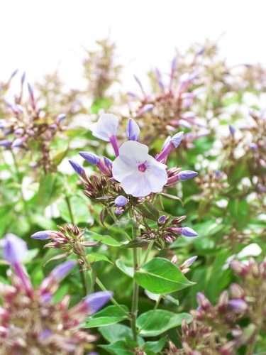 Phlox Miss Lolita weiß lila