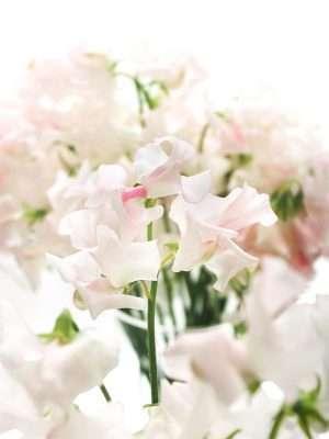 Wicken Wedding White - weiss-rosa
