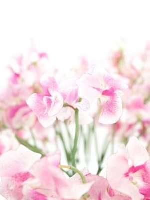 Wicken Wedding rose - pink weiss