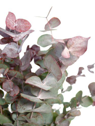 Eukalyptus Cinerea gefärbt rot-grün