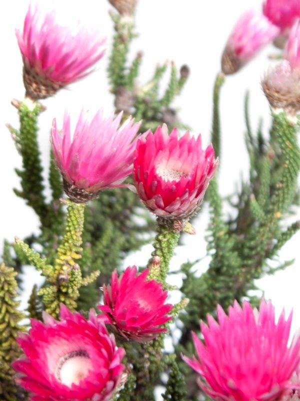 Kap Strohblume Phaenocoma prolifera pink
