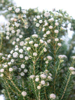 Phylica weiss grün