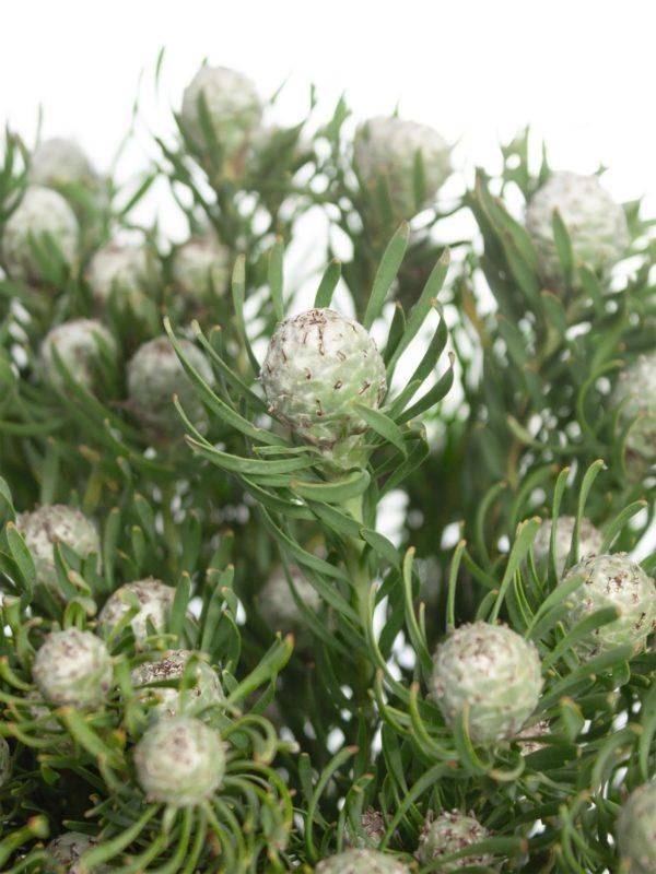 Die Berzelia Lanuginosa silber-grün