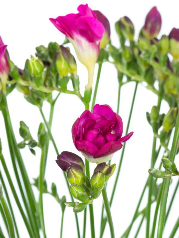 Freesien Purple Rain in Pink-Violett