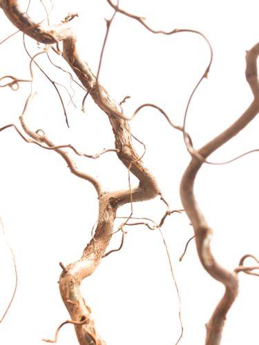 Gemeine Hasel Corylus Zweige