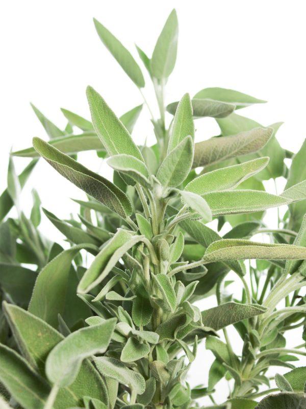 Grüner Salbei
