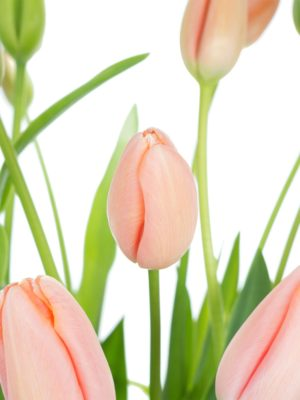Französische Tulpen Menton apricot-rosa