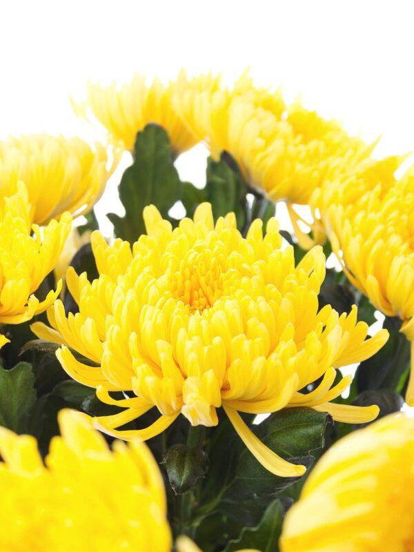 Mehrere Chrysanthemen Piotr mit leuchtend gelben Blüten