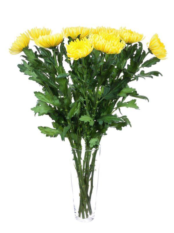 Ein kompletter Blumenstrauß mit Chrysanthemen Piotr in strahlendem gelb