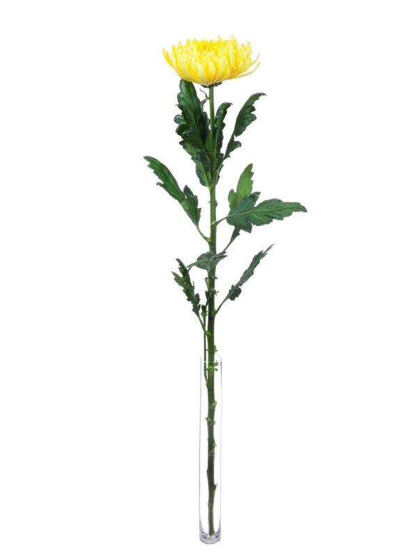 Eine einzelne Chrysantheme Piotr in gelb