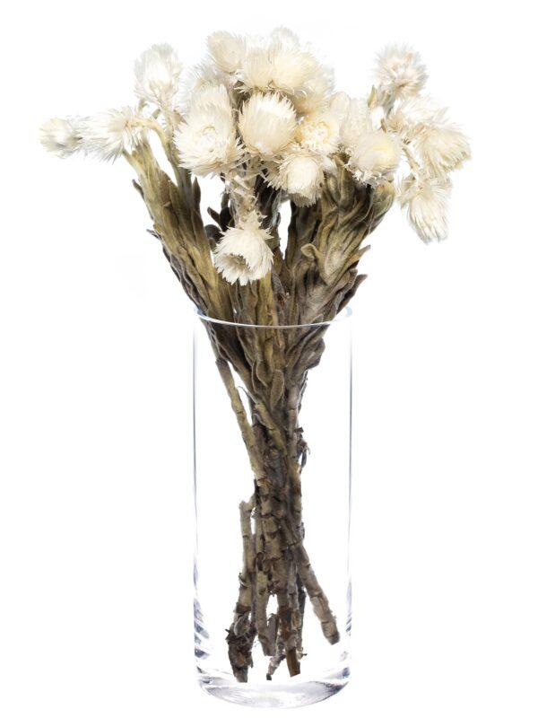 Die Kap Strohblume getrocknet weiß als Bund in einer Vase