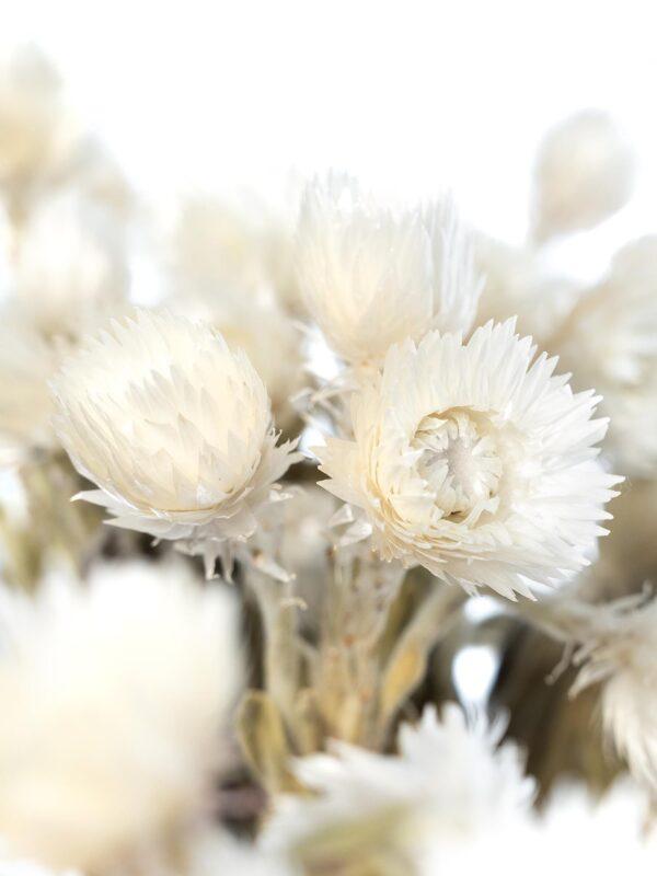 Die Detailaufnahme einer Kap Strohblume getrocknet weiß