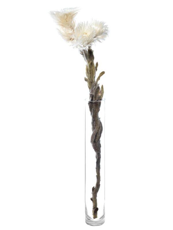 Kap Strohblume getrocknet weiß einzeln in einer Vase