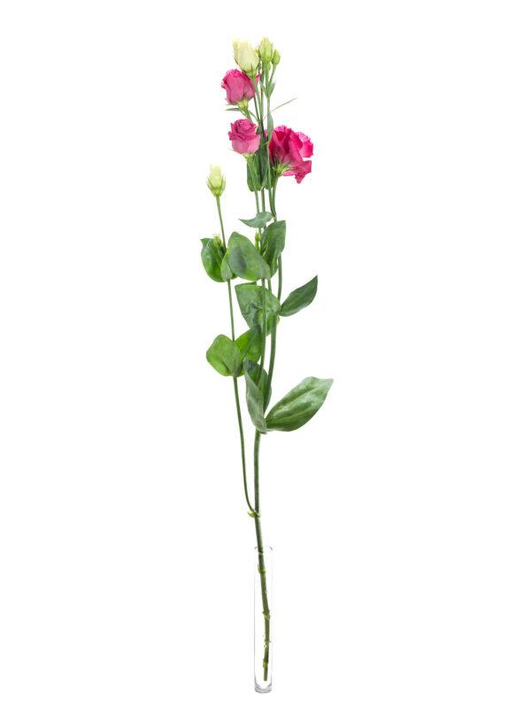 """Lisianthus Eustoma """"Rosita-red"""" in pink einzeln in einer Vase"""