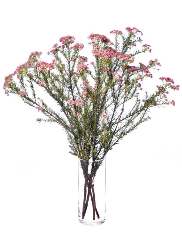 Mehrere pinke Ozothamnus Reisblumen in pink in einer Vase