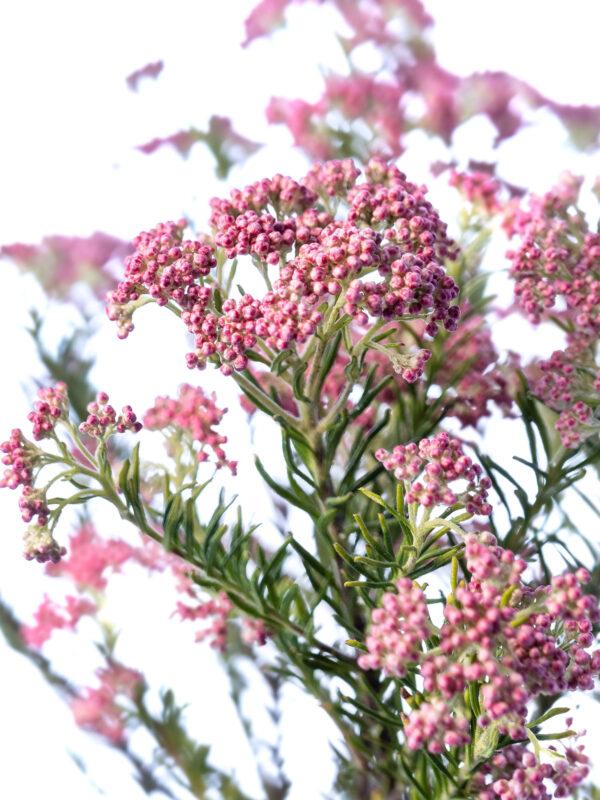 Detailansicht der Ozothamnus Reisblume in pink