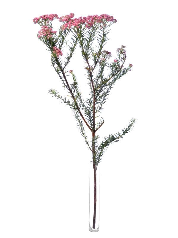 Einen einzelne Ozothamnus Reisblume mit pinken Blüten