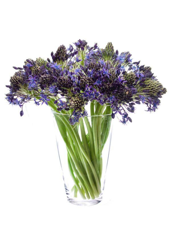 Ein Bund Peruanischer Blaustern Scilla Peruviana lila in einer durchsichtigen Vase