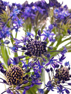 Blütendetail des peruanischen Blausterns Scilla Peruviana lila