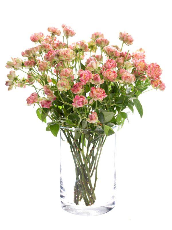 """Ein Bund Rosen """"Wild Radish"""" rosa-weiß in einer durchsichtigen Glasvase"""