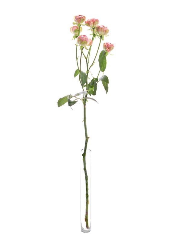 """Eine einzelne Rose """"Wild Radish"""" rosa-weiß"""