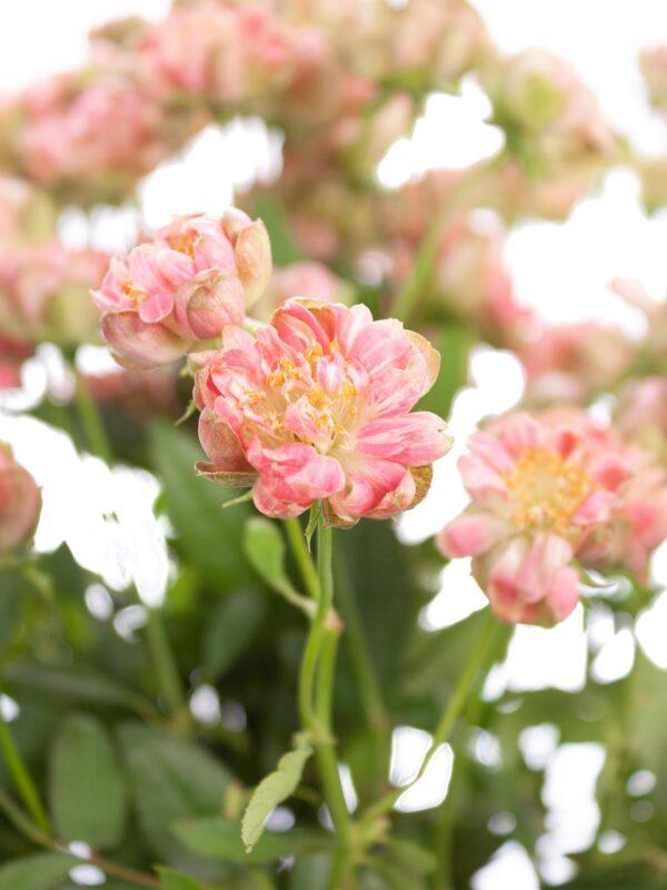 """Nahaufnahme der Rose """"Wild Radish"""" rosa-weiß"""