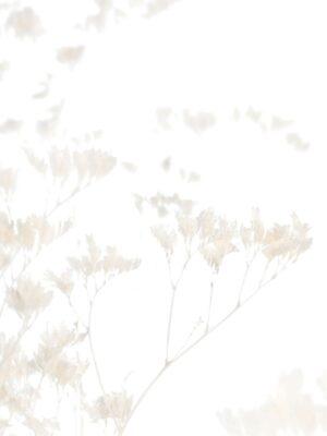 Die getrockneten Blüten eines Strandflieders in creme-weiß
