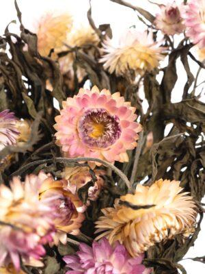 Strohblume Helichrysium getrocknet apricot rosa Detailaufnahme