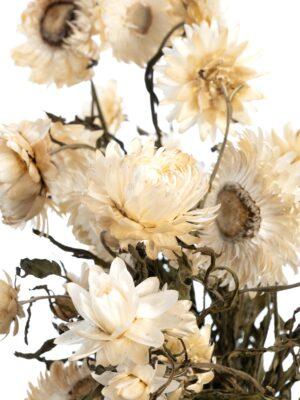 Strohblume Helichrysium getrocknet natur weiß Detail