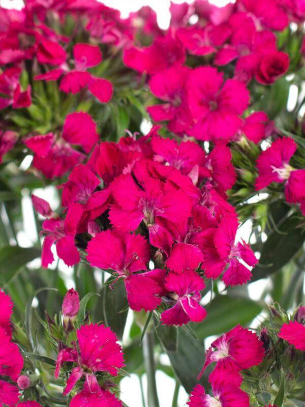 """Blütendetail der Bartnelke """"Neon Cherry"""" in pink"""