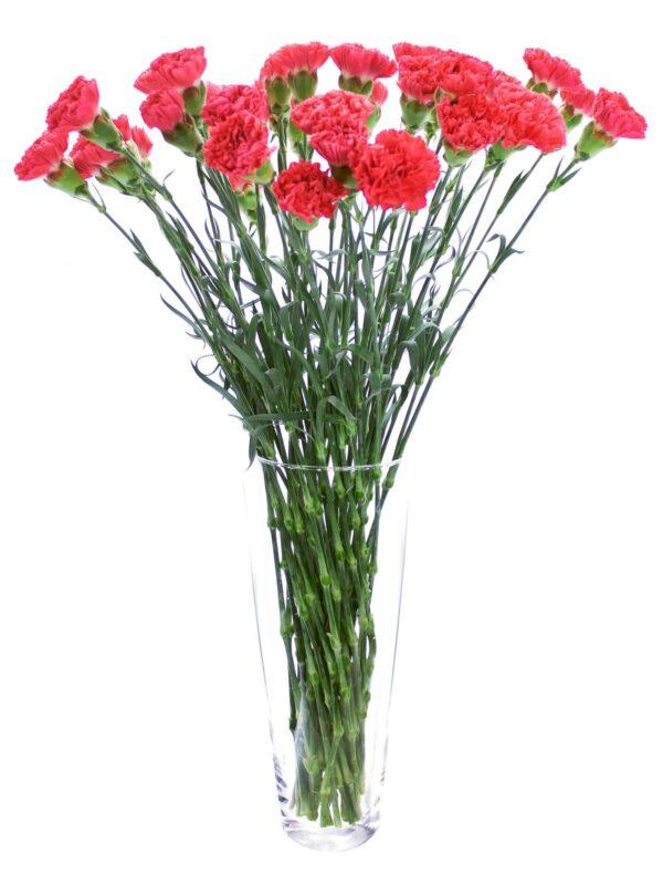Ein Bund Edelnelken Bizet rot corall in einer Vase