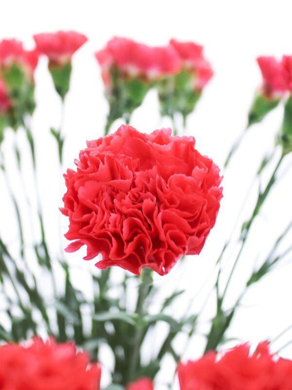 Blütendetail der Edelnelke Bizet rot corall