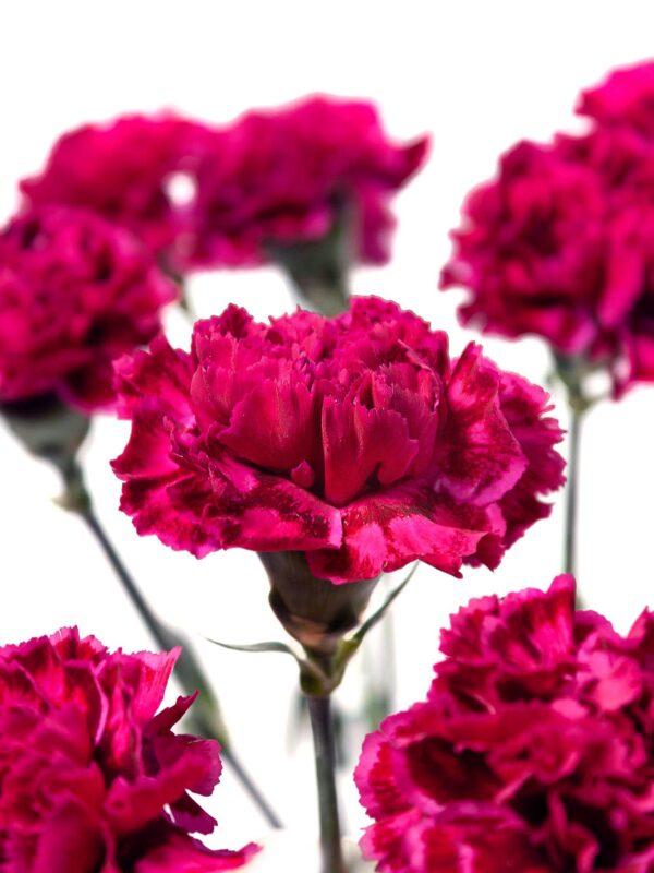 Die Blüte der Edelnelke Nobbio Party in Dunkelrot-Pink