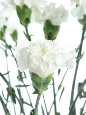 Nelke Baltico in Weiß