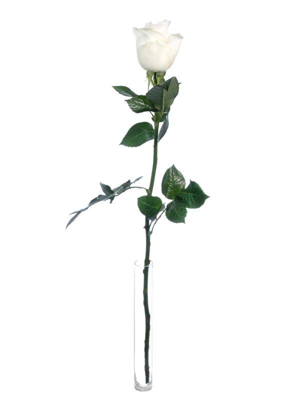 """Eine einzelne weiße """"Proud"""" Rose in einer Vase"""