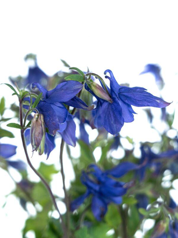 Blütendetail der Akelei Blue Lady in Violett