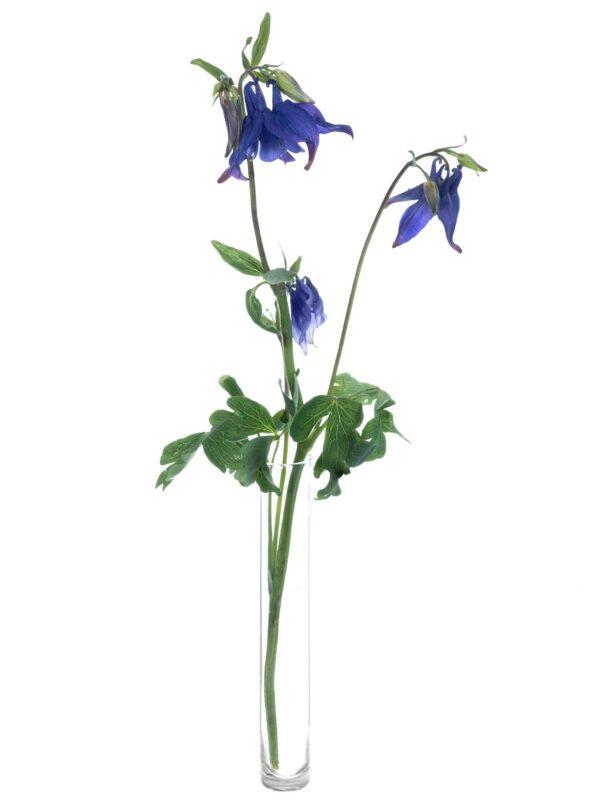Ein einzelner Stiel Akelei Blue Lady in Violett in einer Vase