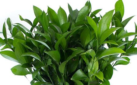 Grüner Ruscus Hypophyllum
