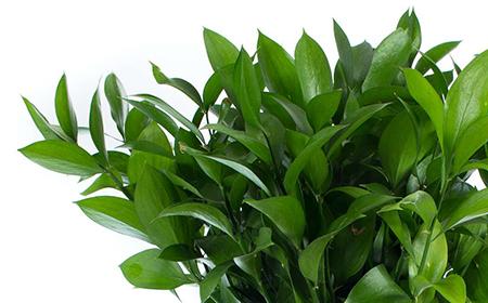 Die Blätter des Ruscus Hypophyllum