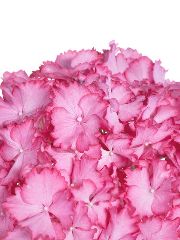 Blütendetail der Hortensie Magical Ornament in Pink-Weiß