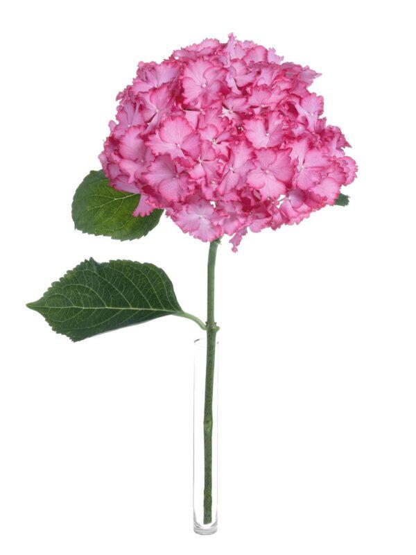 Einzelner Stiel der Hortensie Magical Ornament in Pink-Weiß in einer Vase
