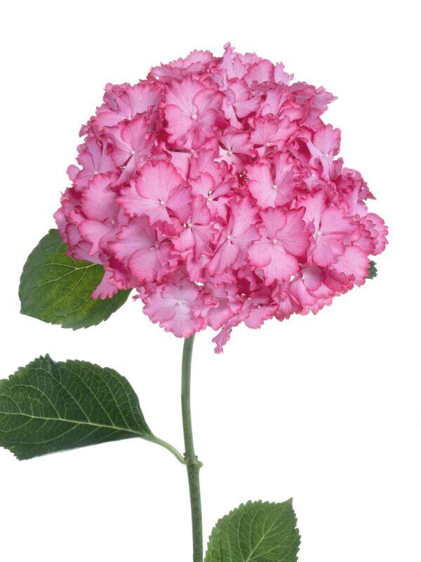Nahaufnahme der Hortensie Magical Ornament in Pink-Weiß